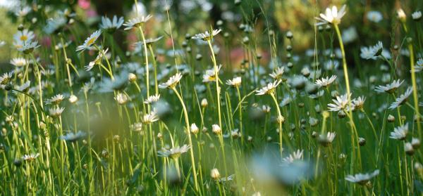 Daisy_field